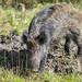 20180409_F0001: Almost a not muddy wild boar