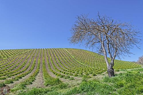 vineyards vines trees californiacentralcoast california coast bluesky tree pasorobles winery winecountry spring greengrass