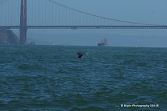 Grey whale out in the Golden Gate Straits.