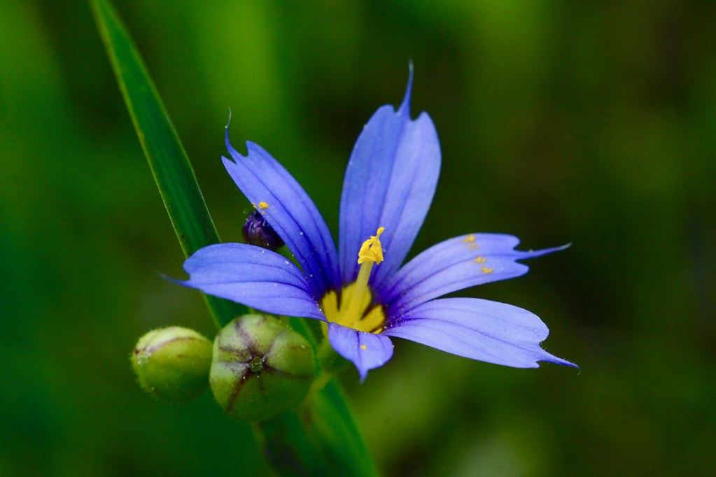 Idaho blue-eyed grass