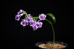 [Mt. Kurokami Saga, Japan] Ponerorchis graminifolia var. kurokamiana '3002' (Hatus. & Ohwi) T.Hashim., Proc. World Orchid Conf. 12: 119 (1987)