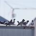Rooftop birds
