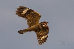 Savanna Nightjar in flight