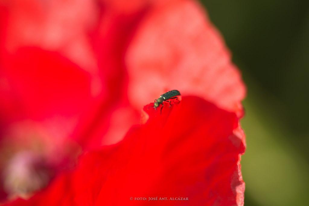 Insecto sobre un amapola.