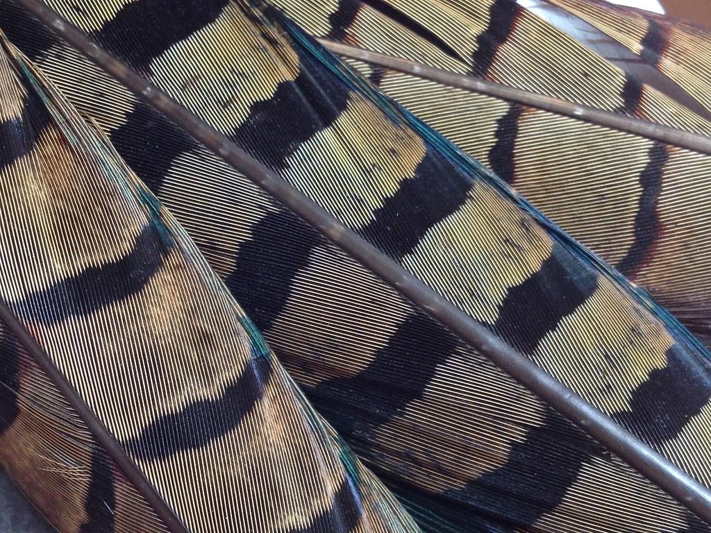 Melanistic Pheasant Tail