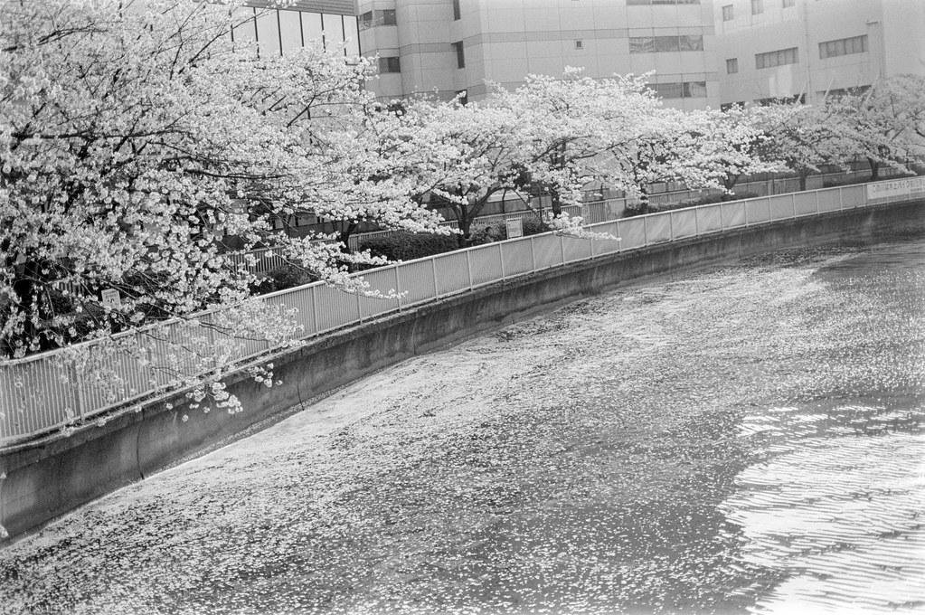 2018-04-21 深川の桜 003