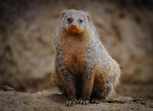 Single Mongoose