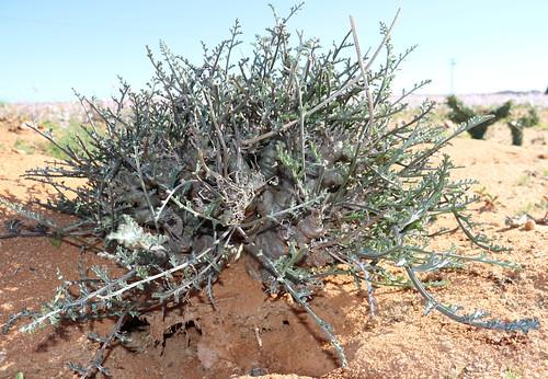Pelargonium parviflorum