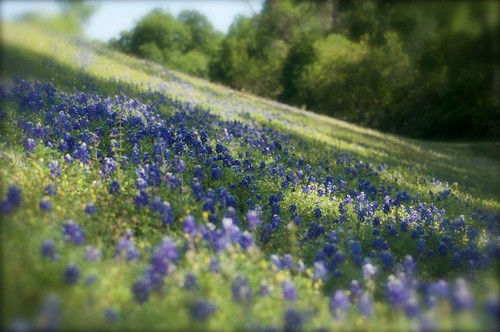 bluebonnets flower texas thewoodlands