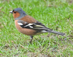Chaffinch ( Male) - Thornley Woods