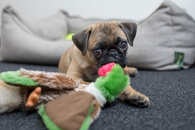 甘噛みのしつけ用のおもちゃで遊ぶ犬