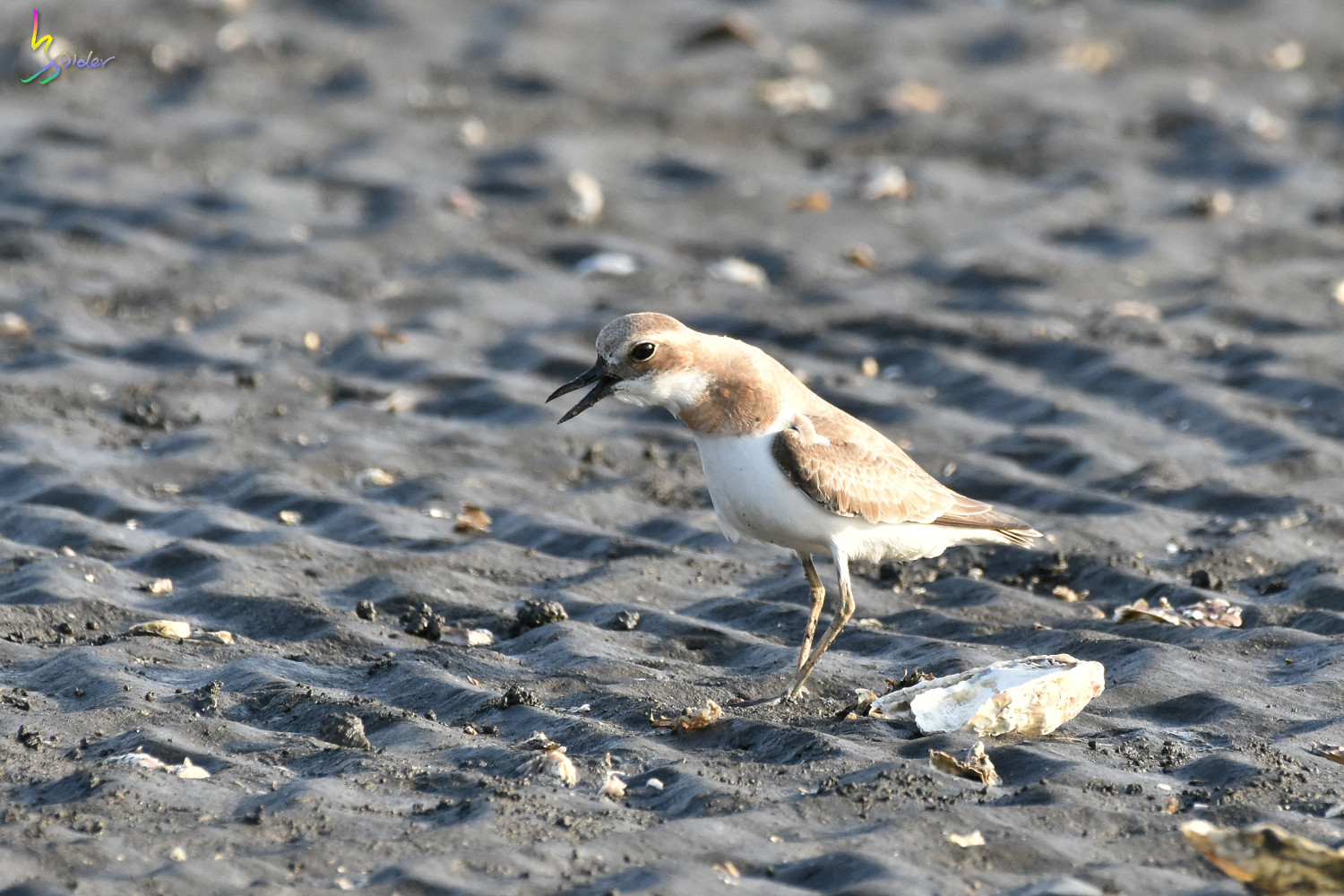 Greater_Sand_Plover_1828