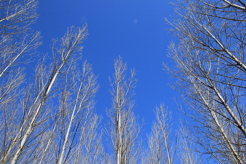 Silver Birch trees reaching for the sky