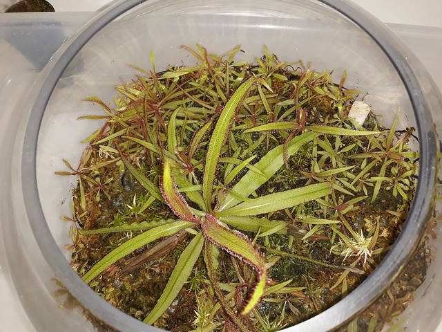Drosera adelae terrarium; AUSCPS meeting