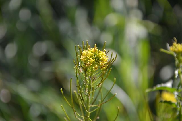 Sisymbrium irio - roquette jaune 40454420424_7145ded97e_z