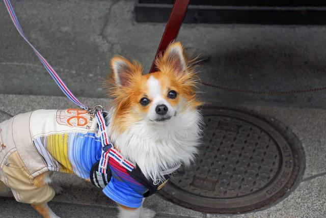 散歩のしつけができていて散歩を楽しめる犬