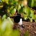 Magpie, under bush