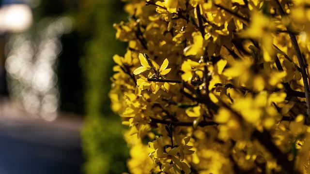 Yellow spring feelings | SONY ⍺7III & Sigma 4/24~105mm Art on Sigma MC-11