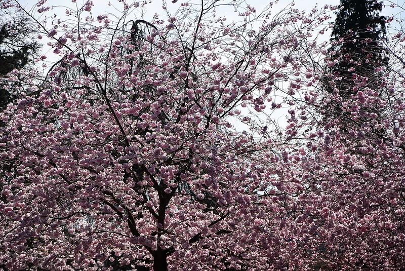 Japanese Cherry Blossom 12.04 (4)