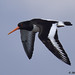 oystercatcher 9 2018 in flight