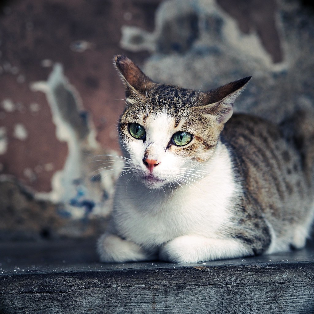 Beautiful Cat Sat Down Mumbai Colaba _effected