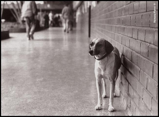 histórias de Brasília Bsb história FAC comunicação Geni a cãdidata cães viralatas SRD