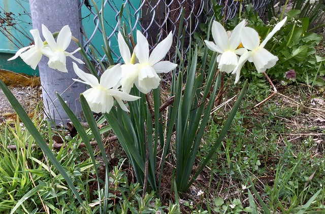 Narcissus- white daffodils, Apple iPad mini 4, iPad mini 4 back camera 3.3mm f/2.4