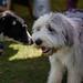170514 Blunham Dog Show-0361