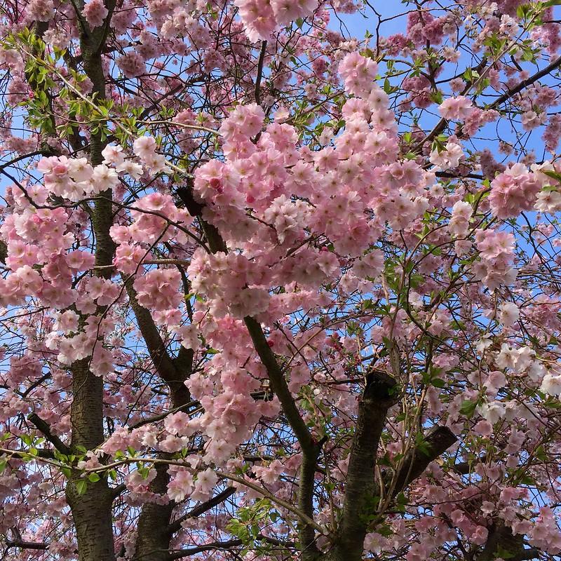Alexandra Palace cherry blossom 2018