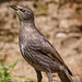 Starling (juvenile)