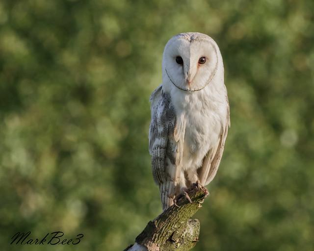 Barn owl (3 of 3), Nikon D810, AF-S VR Nikkor 300mm f/2.8G IF-ED
