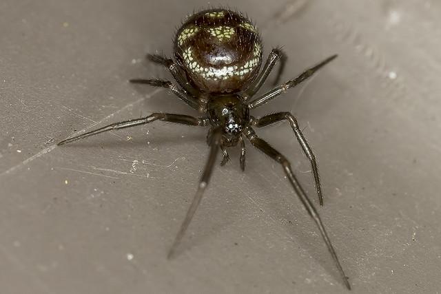 Cobweb spider? (Steatoda)
