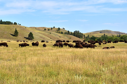 Bisons at the Custer State Park
