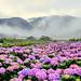 Hydrangea field @ Yangmingshan National Park by Jennifer 真泥佛