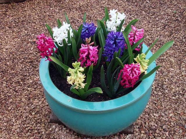 Mixed Colour Hyacinth