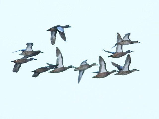 Blue-winged Teal 02-20180414