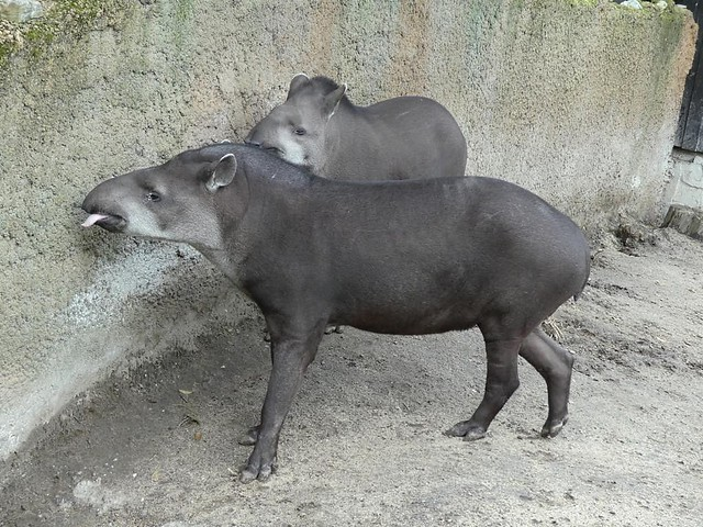 Tapir, Zoo Duisburg