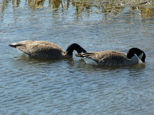 1 April 2018 - Canadian Geese @ Contra Loma