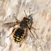 European Wool-carder Bee