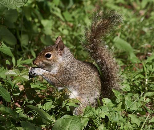 graysquirrel squirrel wildlife nature