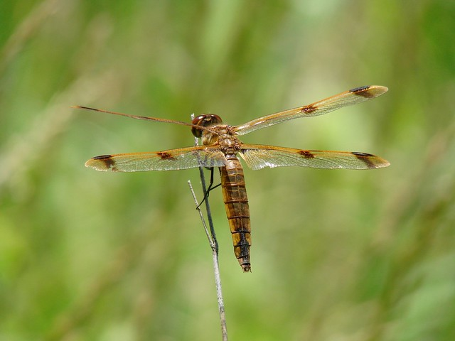 Painted Skimmer, Sony DSC-H5