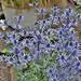 Eryngium 'Big Blue' Sea Holly