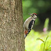 Great Spotted Woodpecker  ( juvenile )----Dendrocopos major
