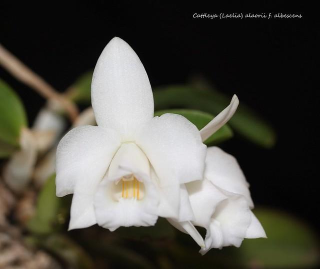 Cattleya (Laelia) alaorii f. albescens 29074229178_c46712eb06_z