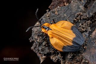 Net-winged beetle (Lycus cf. constrictus) - DSC_2944