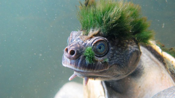 Please admire this turtle who looks like a punk