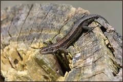 HolderCommon Lizard (image 2 of 2)
