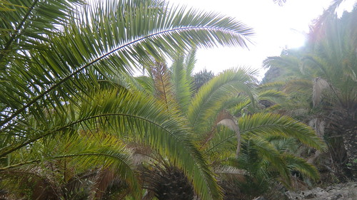 La Gomera (Spain's Canary Islands) - majestic palm trees