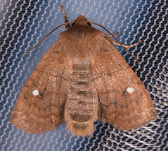 Straight-toothed Sallow Moth