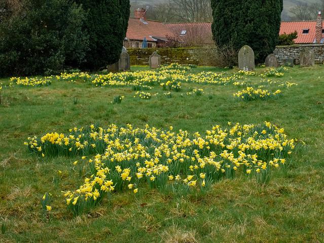 Wild Daffodils in the Churchyard